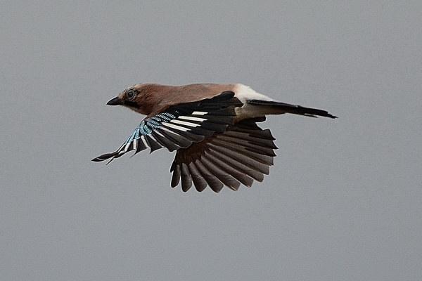 Jay in flight in the wind. by jgmford