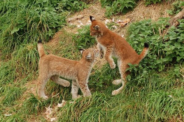 Female Lynx Kittens At Play by jgmford
