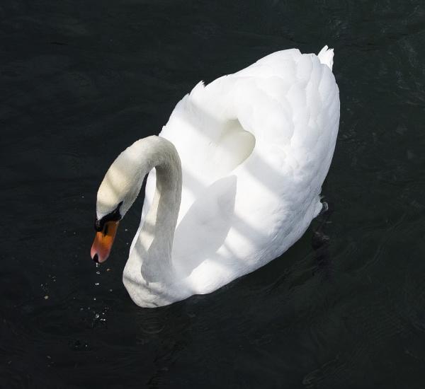 swan by pigxuxu