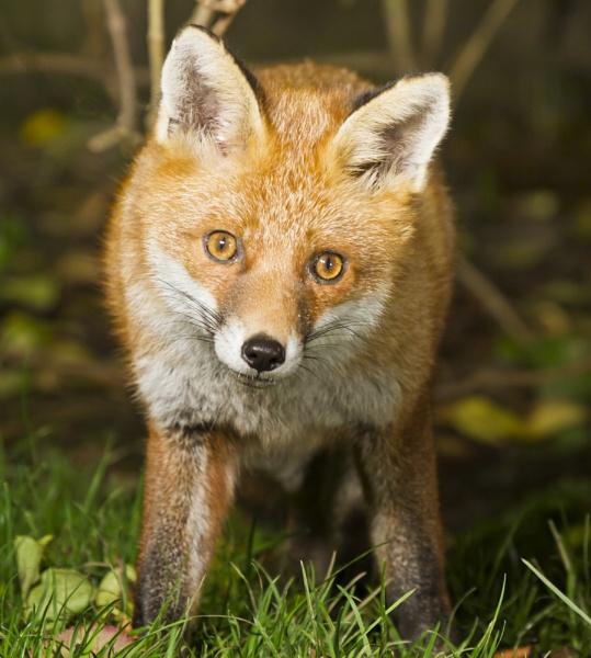 Young Fox Cub by JCRAWFORD