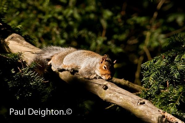 Sleepy Squirrel by lammypaul