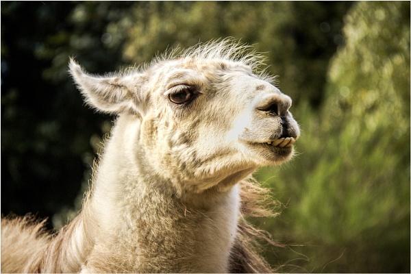 Llama by Daisymaye