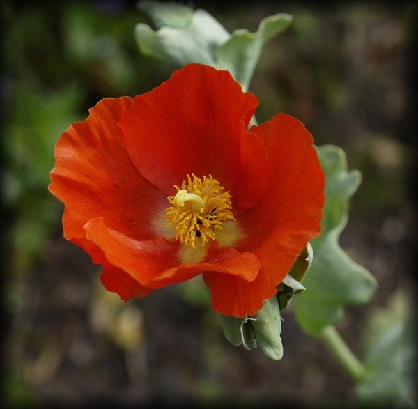Red Horned Poppy by EAS