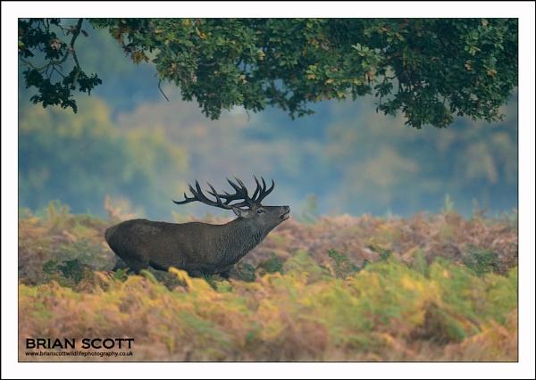 Red Deer by Brian_Scott