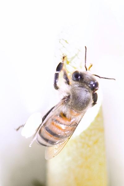 Busy Bee by Msalicat