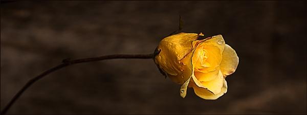 Last Rose of Summer by Irishkate