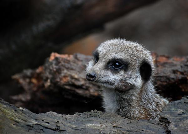 Peek\'a\'boo - Meerkat by perkyjude