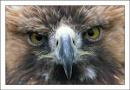 A Golden Eagle called Boris by srh