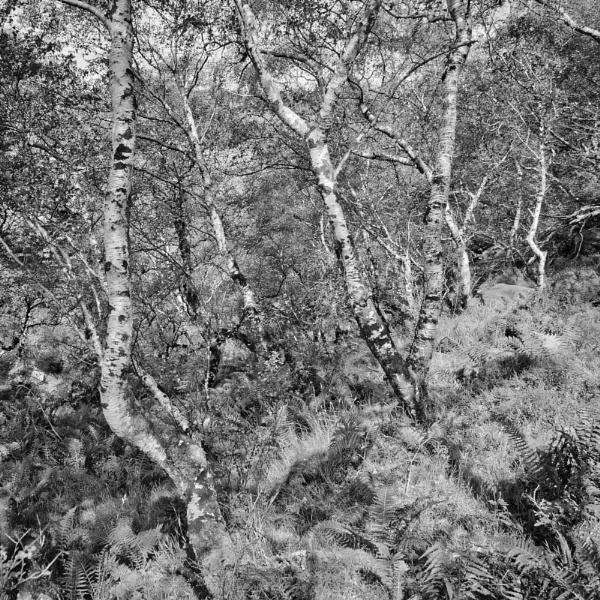 Badachro Birches by Rab90