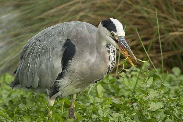 Grey Heron by MossyOak