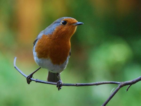 Robbie Robin by jinglis