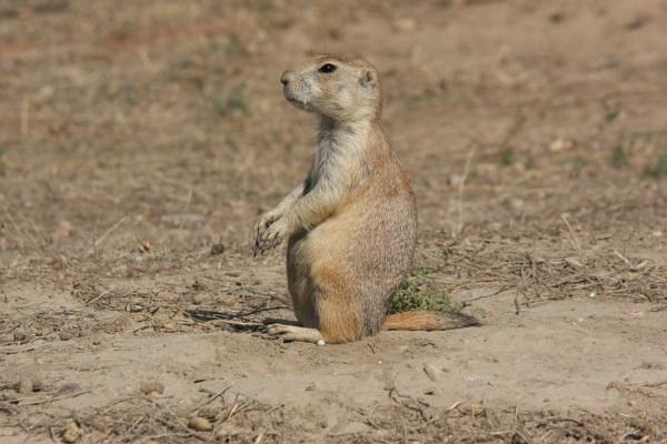 Prairie Dog by Withymaid