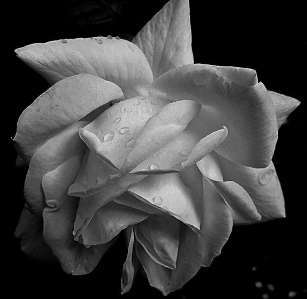 Rose by UKMike2013