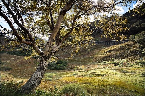 Golden Birch... by Scottishlandscapes