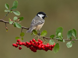 Coal Tit on Pyracantha