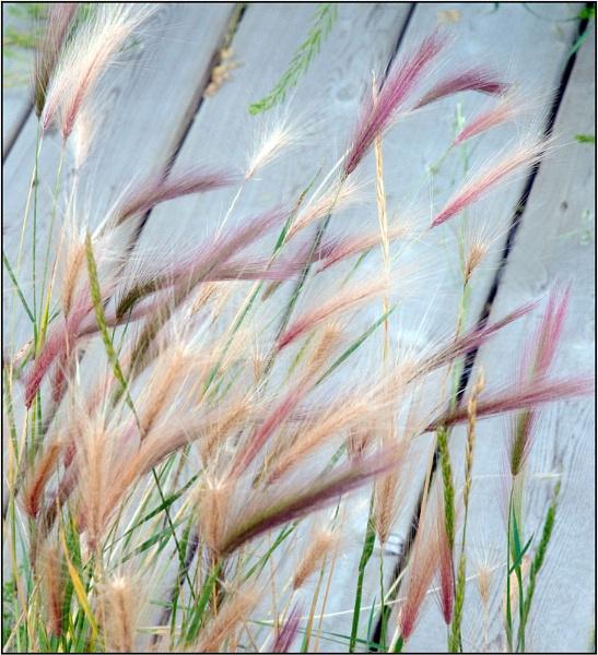 Boardwalk Grasses by MalcolmM