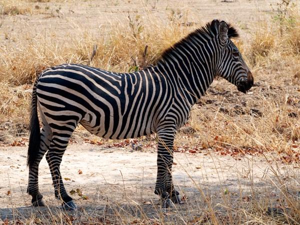 Crawshay\'s Zebra.. by rogerfry