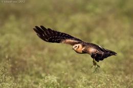 Pallid Harrier | Female