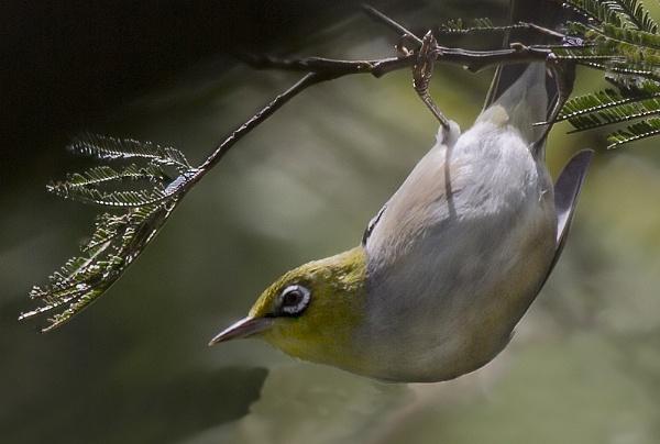 Silvereye Acrobatics by Davesumner