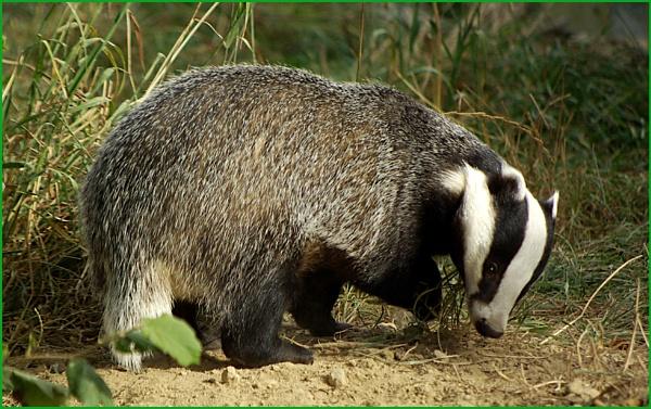 Badger - Meles meles. by Badgerfred