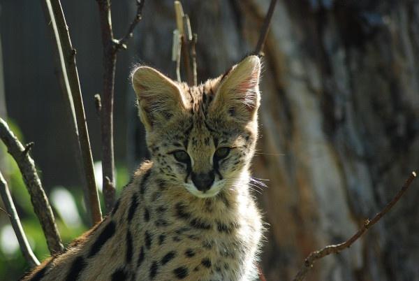 Serval Kitten by jgmford