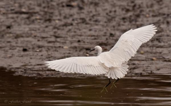 Little Egret by FeatherFriend