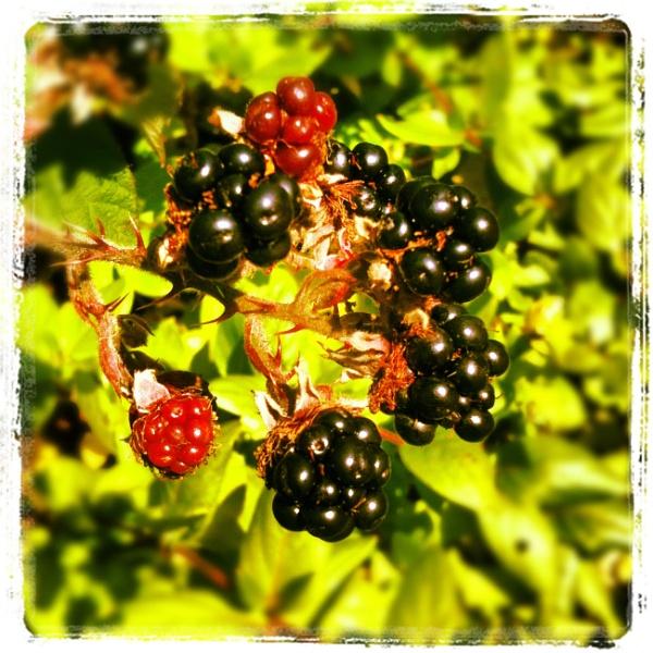 Autumn berries by jonrook