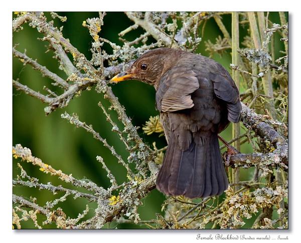 Female Blackbird (Turdus merula) by teocali
