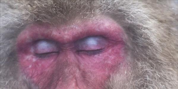 Macaque Dreams 2 by rontear