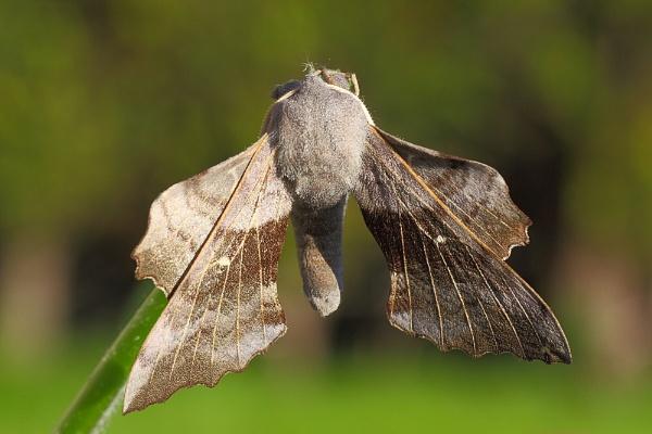 Poplar Hawk-moth by Ade_Osman