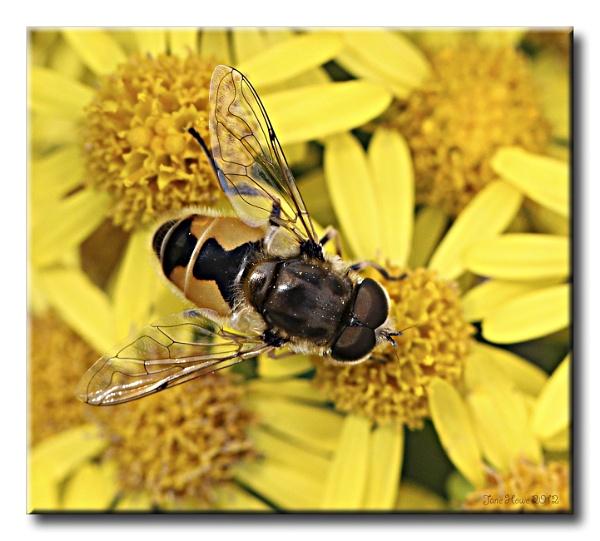 Hoverfly (Eristalis arbustorum) by Snapitt