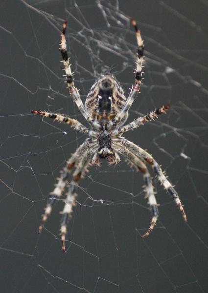 Spider (wo)man by javas