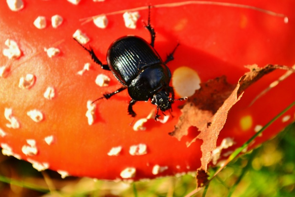 Beetle and Funghi by Lottiephotography