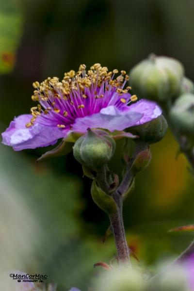 Rubus fruticosus by ManCorMac