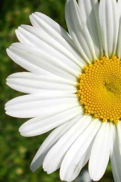 Daisy by Andrea16