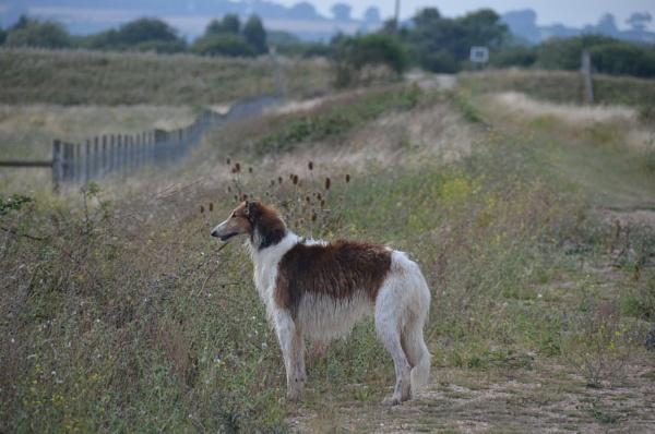 Boris at Rye by Holmewood