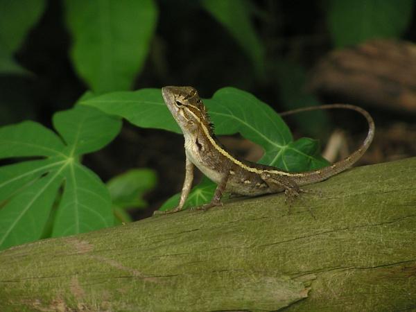 Garden Lizard by mackwolf1
