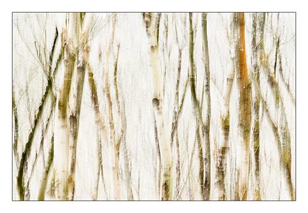 winter trees by blackbird
