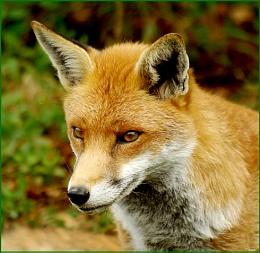 Fox - Close Up.
