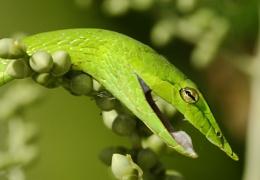 Long nosed whip snake