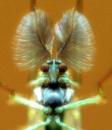 Male Chironomus Luridus by chunky1972