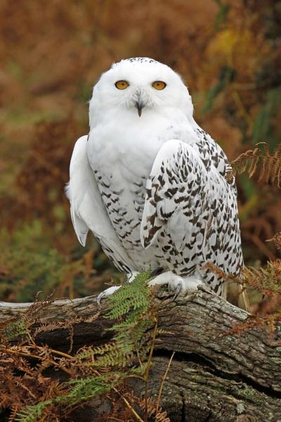 Snowy owl by Geofferz