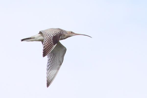 Curlew Flight. by TerryMcK