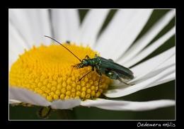 Oedemera nobilis