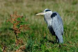 Bushy Park Heron