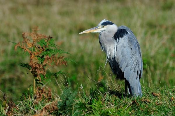 Bushy Park Heron by maroondah