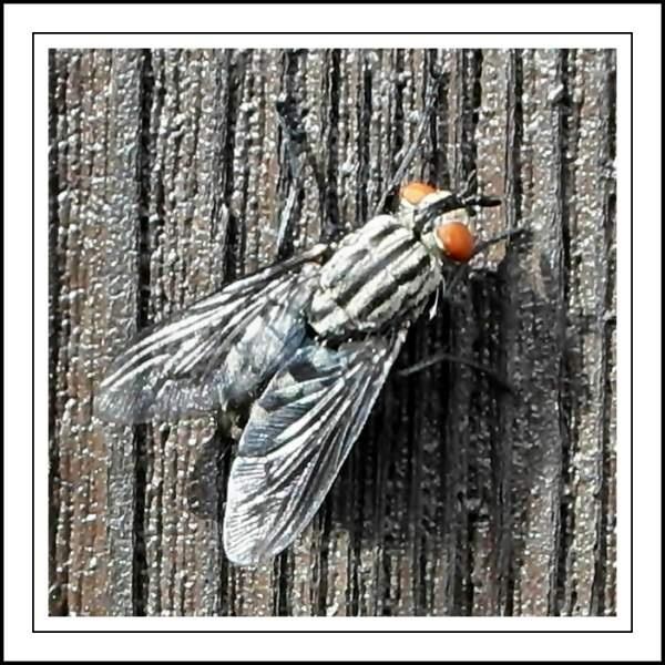 Flesh-fly