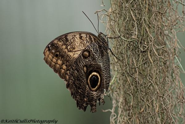 Owl Butterfly (Caligo memnon) by KeithCullis