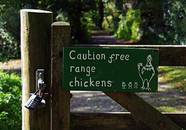 Killer Chickens? by nikshot