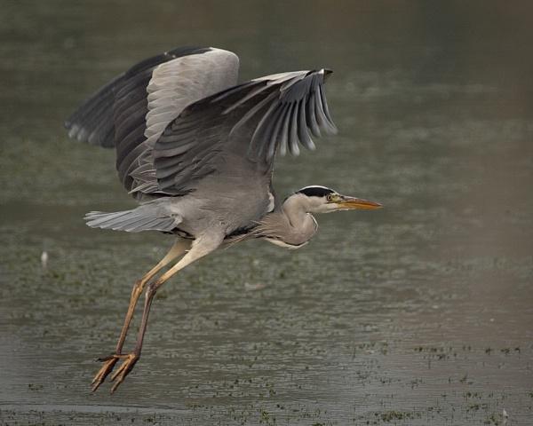 Grey Heron by Gio